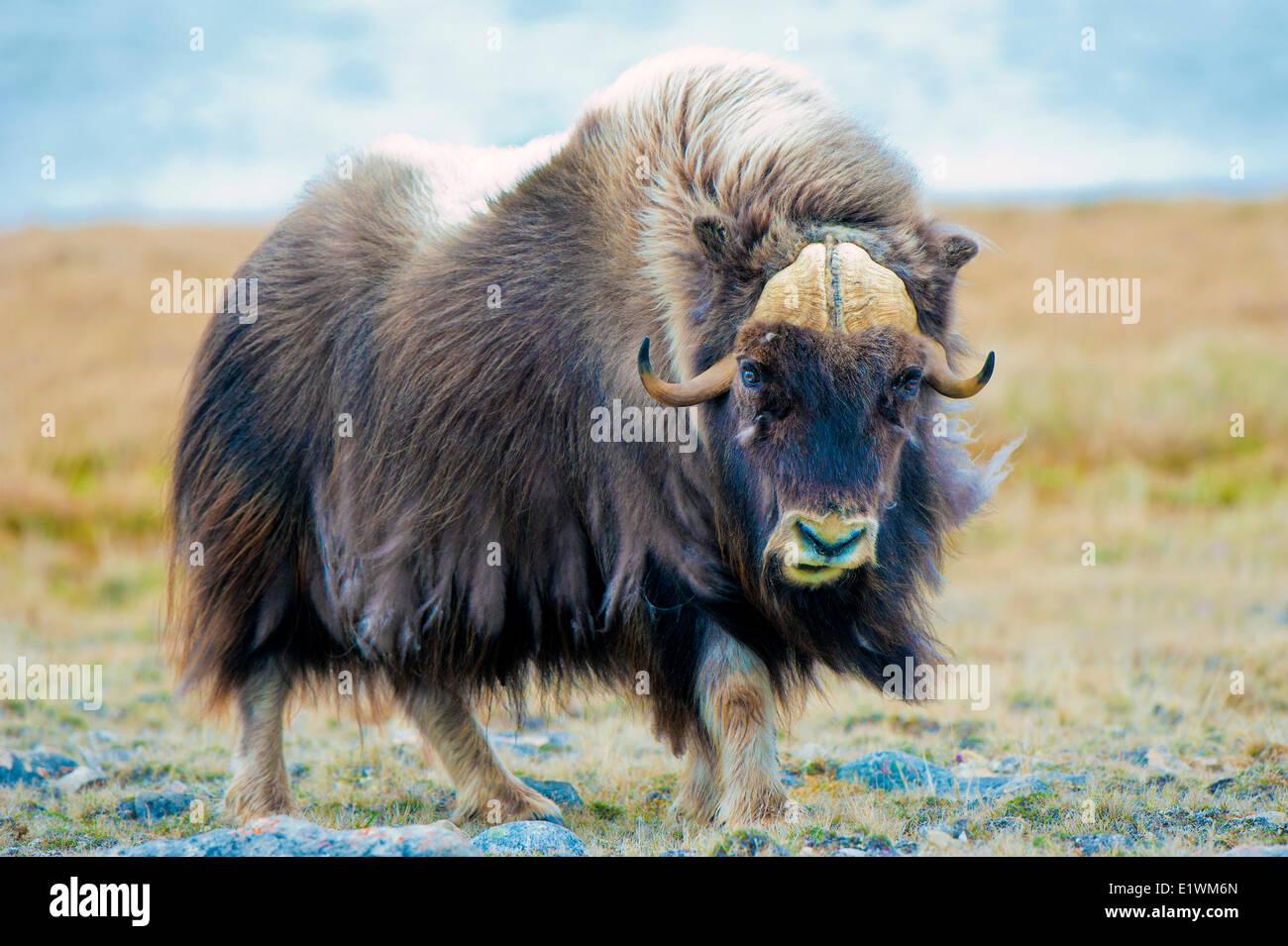 Boeuf musqué (Ovibos moschatus) Bull, île Victoria, Nunavut, Canada l'Arctique Banque D'Images
