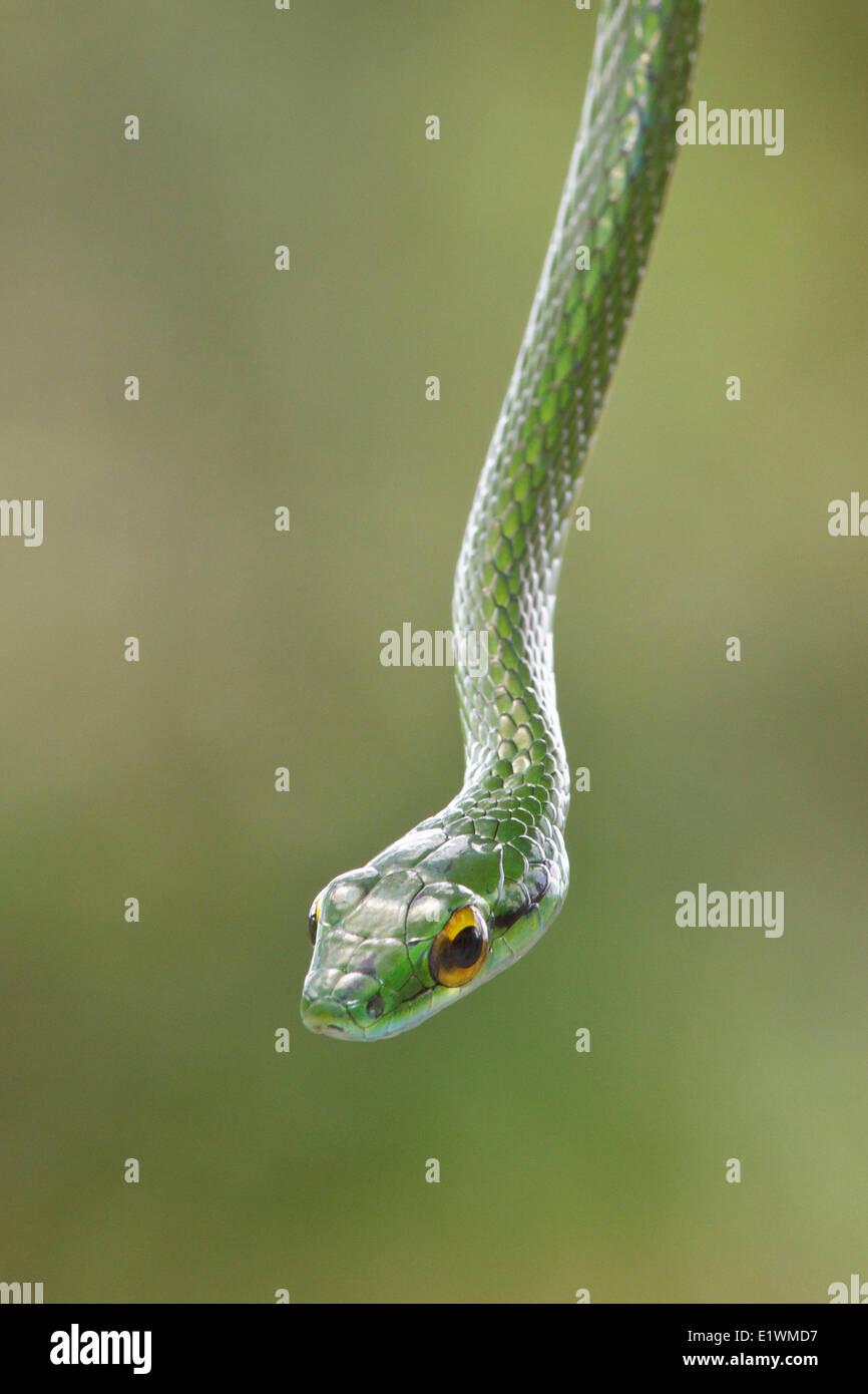 Serpent perché sur une branche dans le Costa Rica, Amérique centrale. Banque D'Images