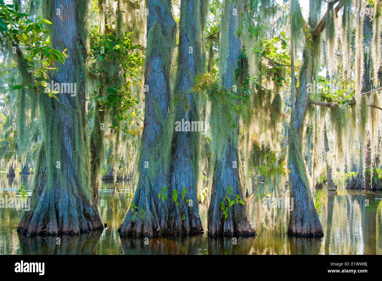 Cypress swamp, Achafalaya River Basin, le sud de la Louisiane, États-Unis Photo Stock