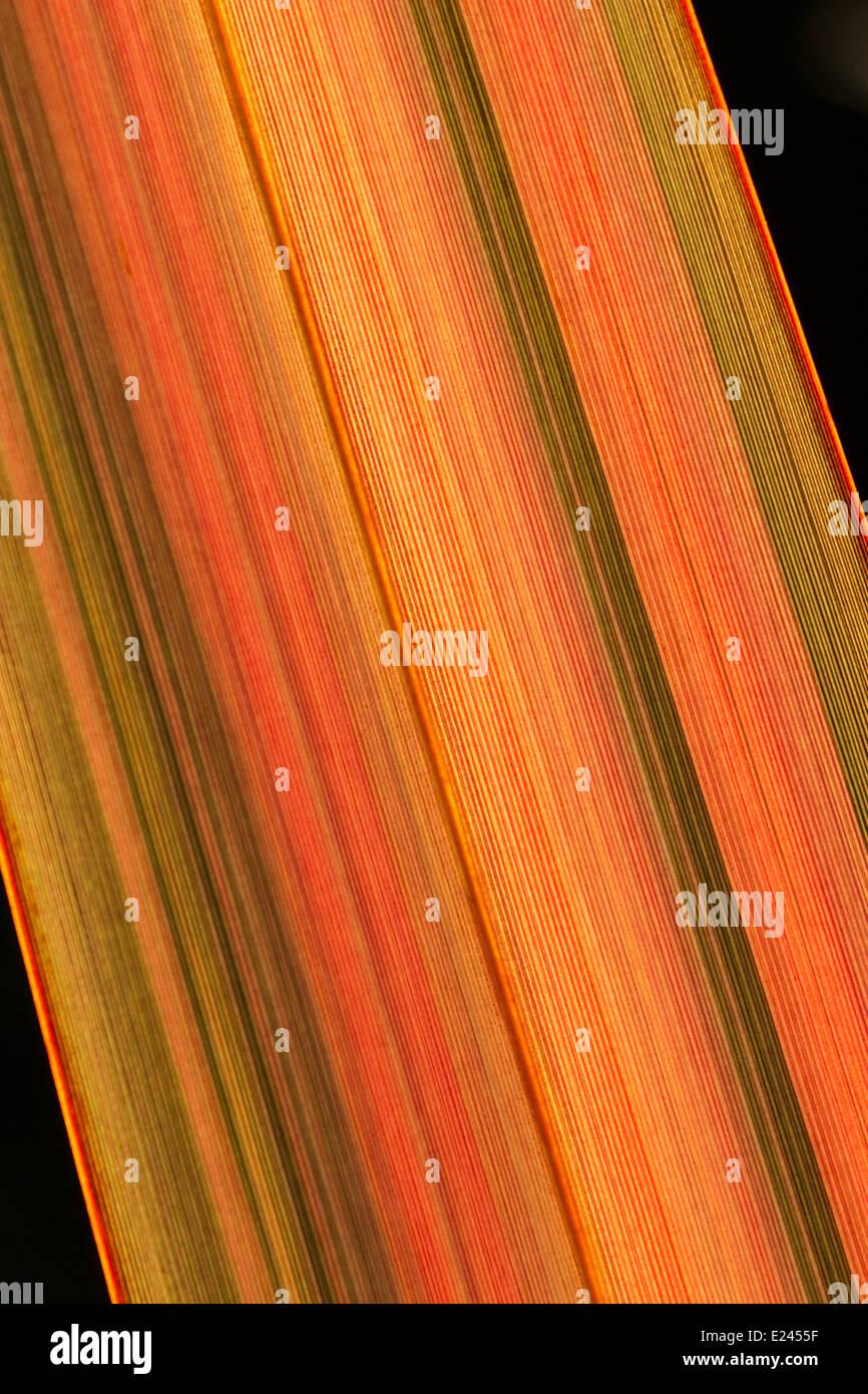 Feuillage de Phormium 'incandescence du soir' tourné contre le soleil couchant pour montrer les bandes de couleur de la feuille Banque D'Images