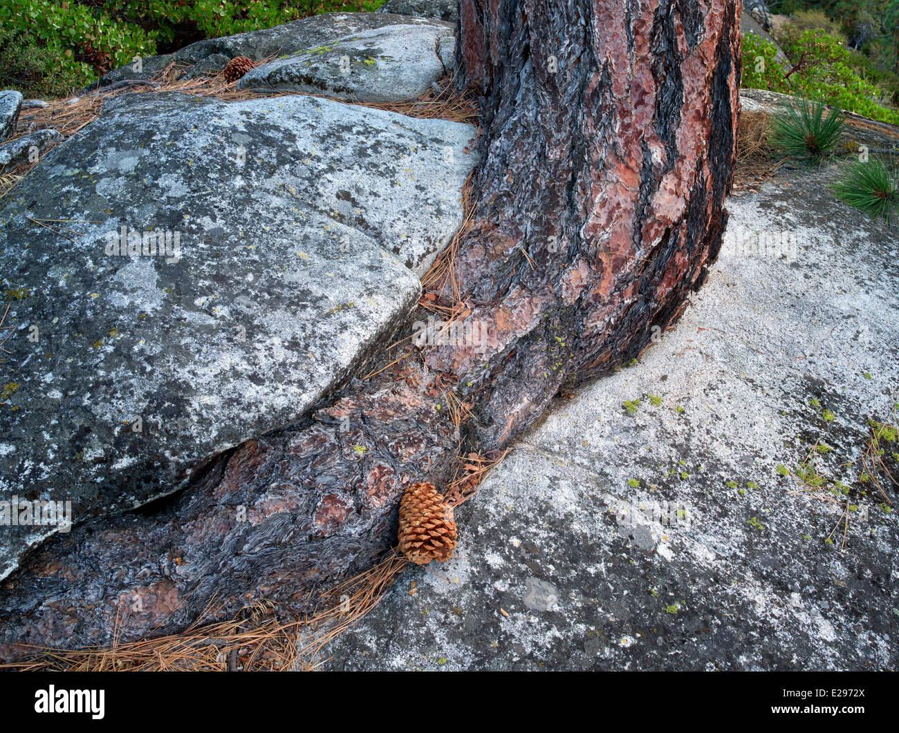 Arbre de pin ponderosa du mal à pousser dans des fissures des roches granitiques. Lake Tahoe, Californie/Nevada Photo Stock