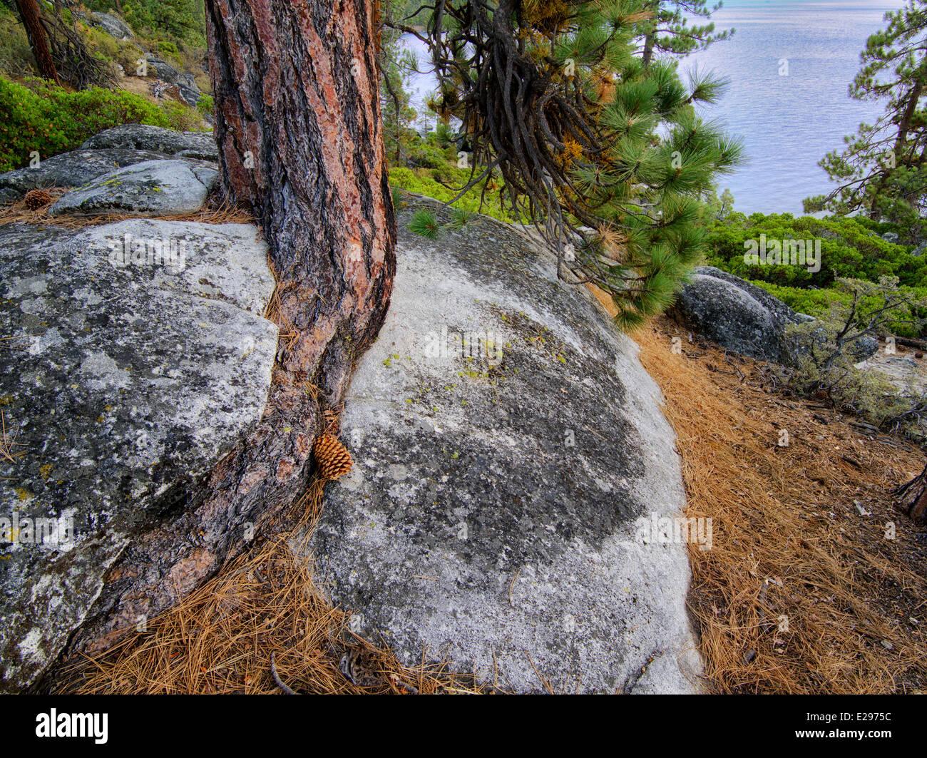 Arbre de pin ponderosa du mal à pousser dans des fissures des roches granitiques et le lac Tahoe. Lake Tahoe, Photo Stock
