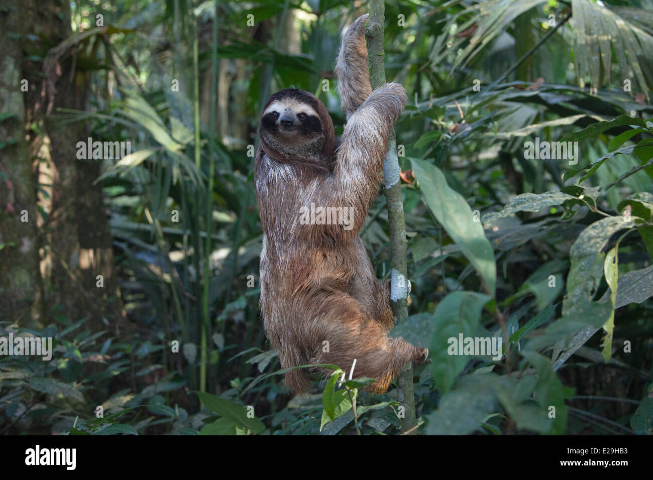 Young Brown-throated trois-toed Sloth (Bradypus variegatus) arbre d'escalade dans la forêt tropicale Photo Stock