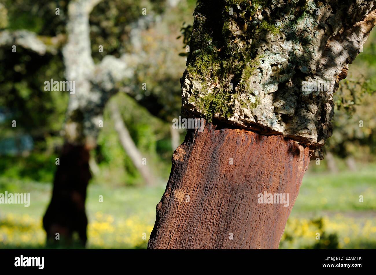 Italie, Sardaigne, Olbia Tempio Province, Aggius, écorce de chêne liège dont l'exploitation est Photo Stock