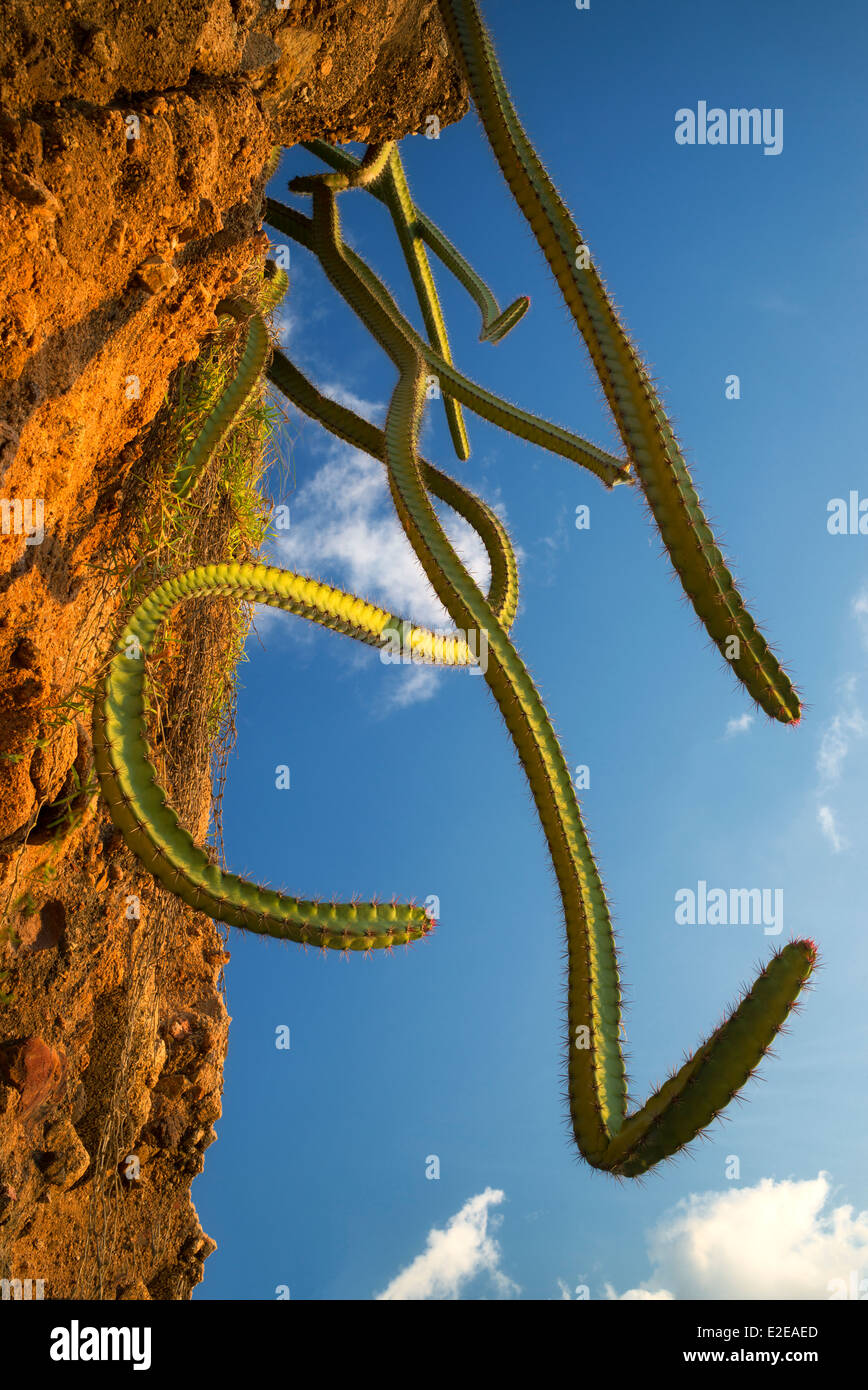 Cactus qui poussent sur la colline. Punta Mita, Mexique Photo Stock