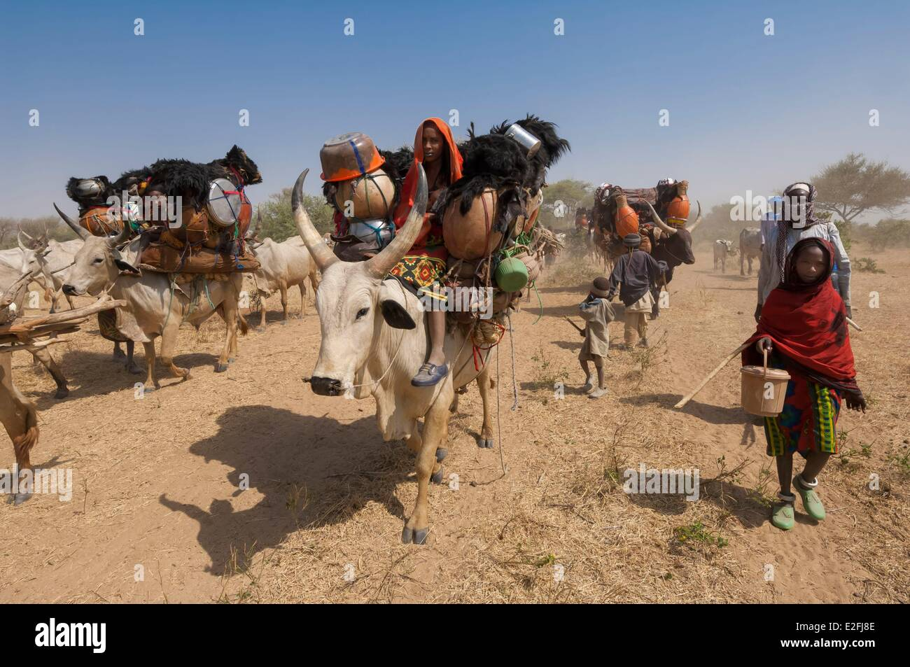 Le Tchad, Sahel, Loumia savannah, la migration des peuls ou Foulbe nomades, avec leurs zébus Photo Stock
