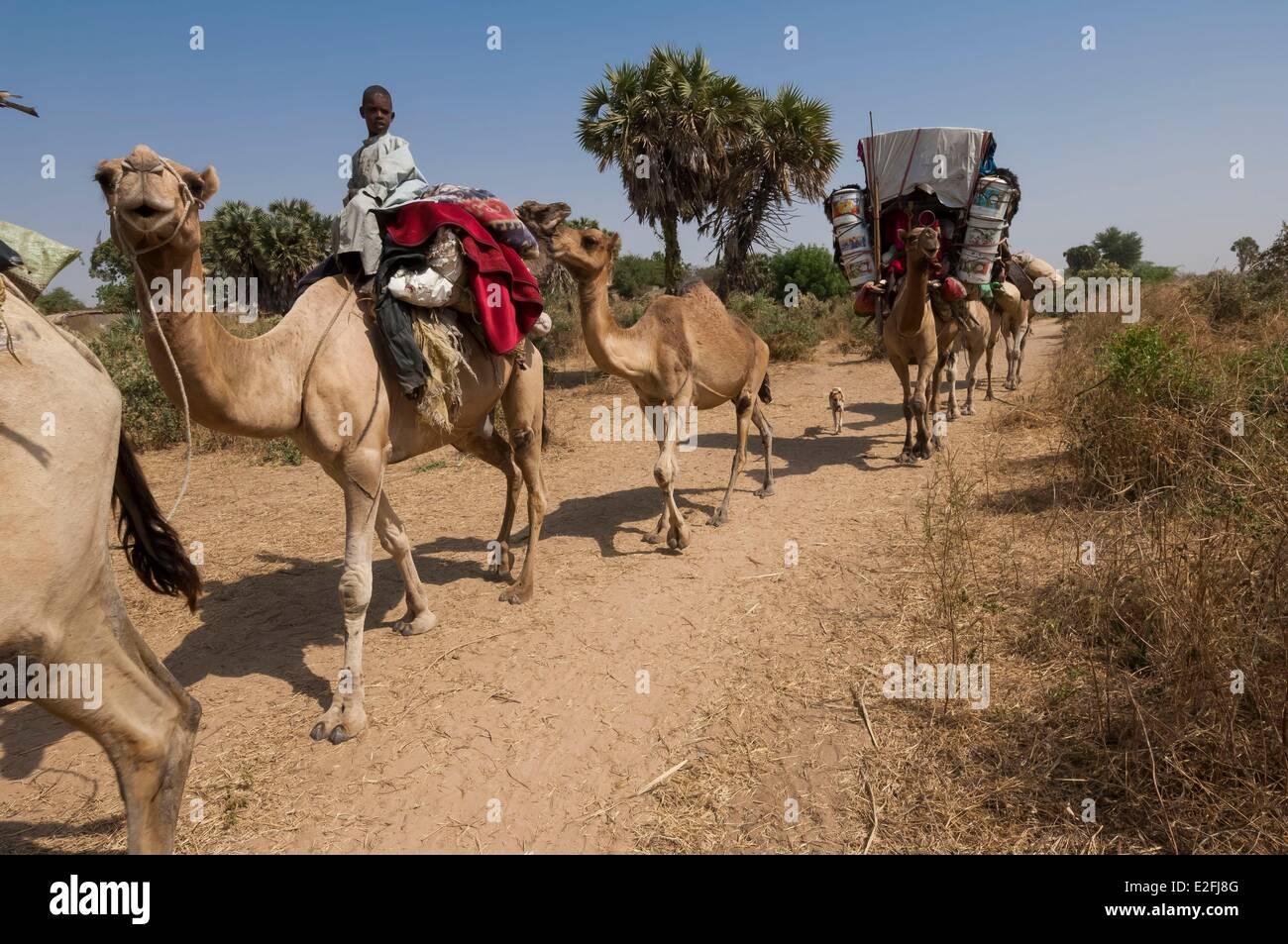 Le Tchad, Sahel, Madoubou savannah, la migration des pays arabes nomades, avec leurs chameaux Photo Stock
