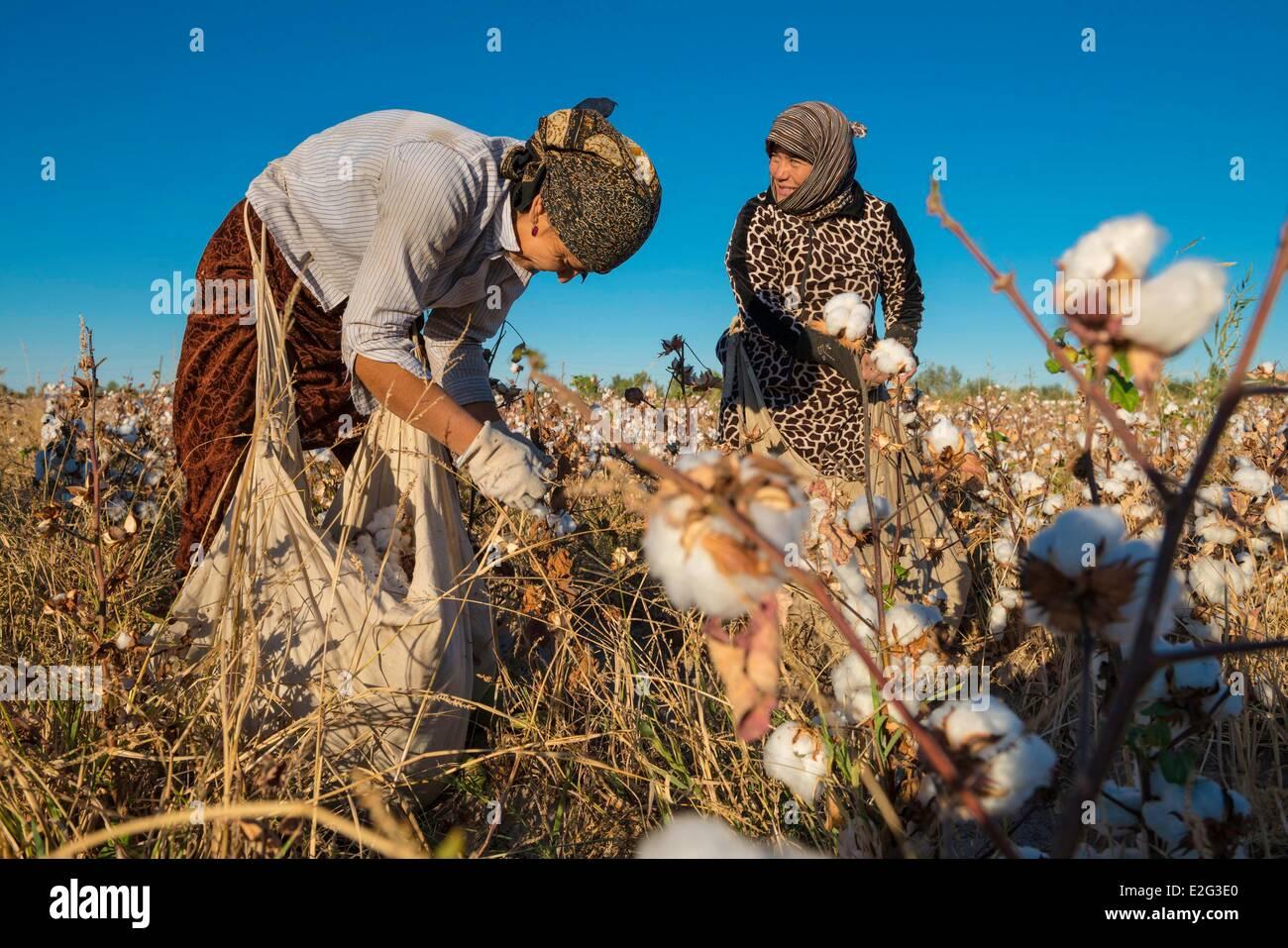 La Route de la province de Khorezm Ouzbékistan women picking le coton (Gossypium sp.) Photo Stock