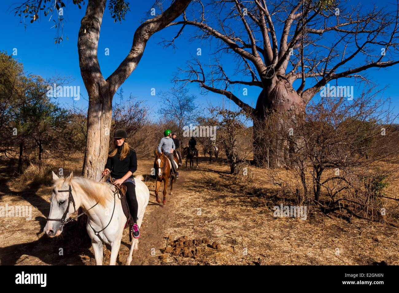 Zimbabwe Département safari à cheval à Victoria Falls National Park baobab Photo Stock