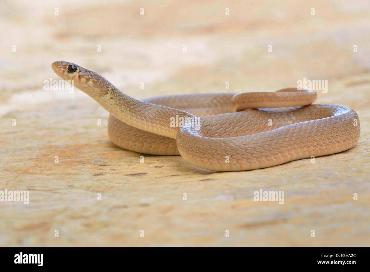 39f8829670a Nain à tête Bague Serpent (Eirenis modestus)