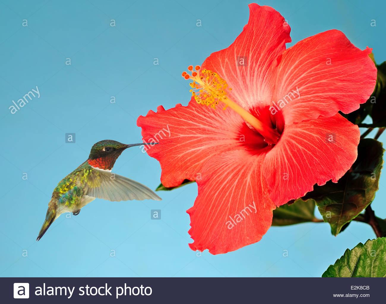 Colibri Hibiscus un colibri à gorge rubis mâle- lors d'une fleur d'hibiscus tropical