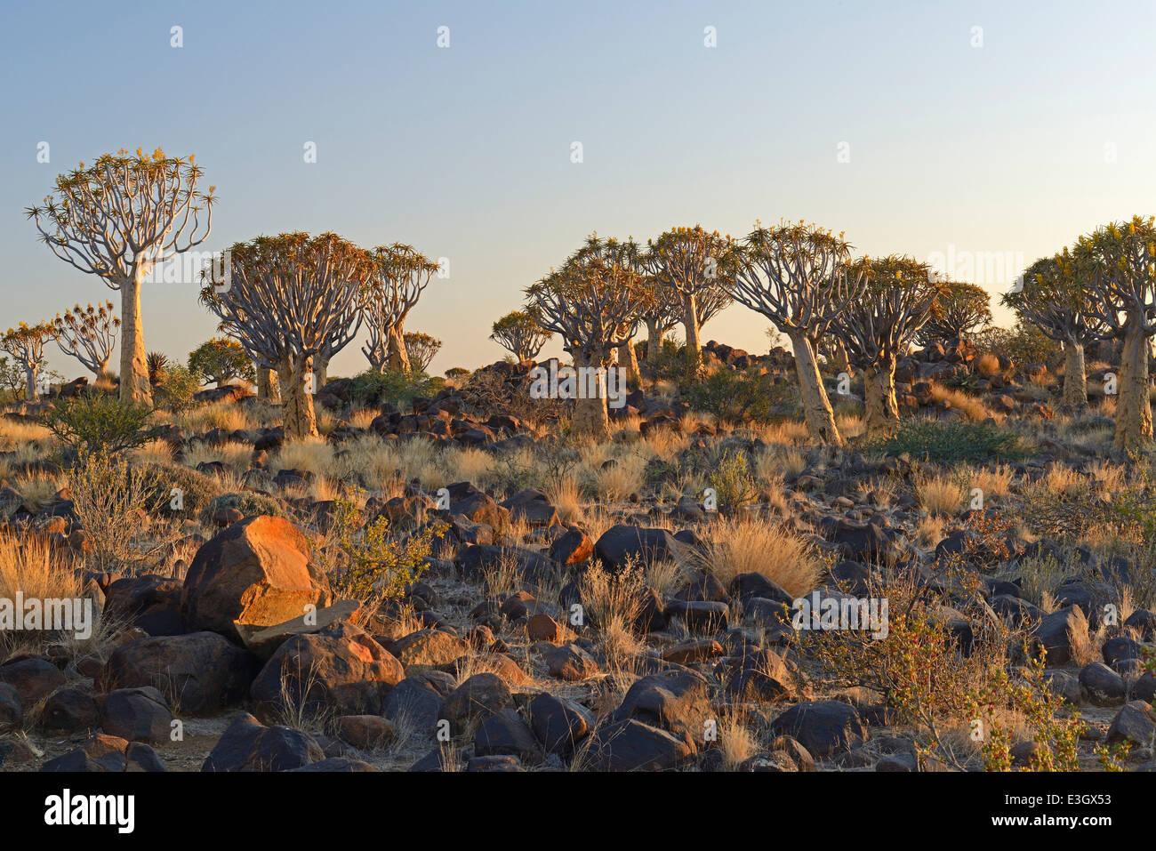 L'Aloe dichotoma Photo Stock