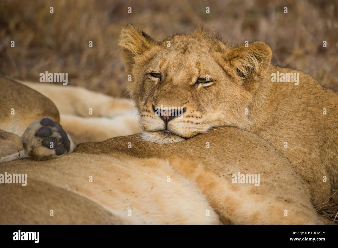lion cubs sleeping photos lion cubs sleeping images alamy. Black Bedroom Furniture Sets. Home Design Ideas