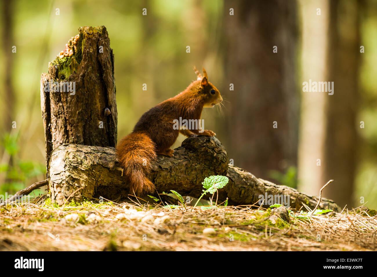 L'écureuil roux à regarder pour les prédateurs Banque D'Images