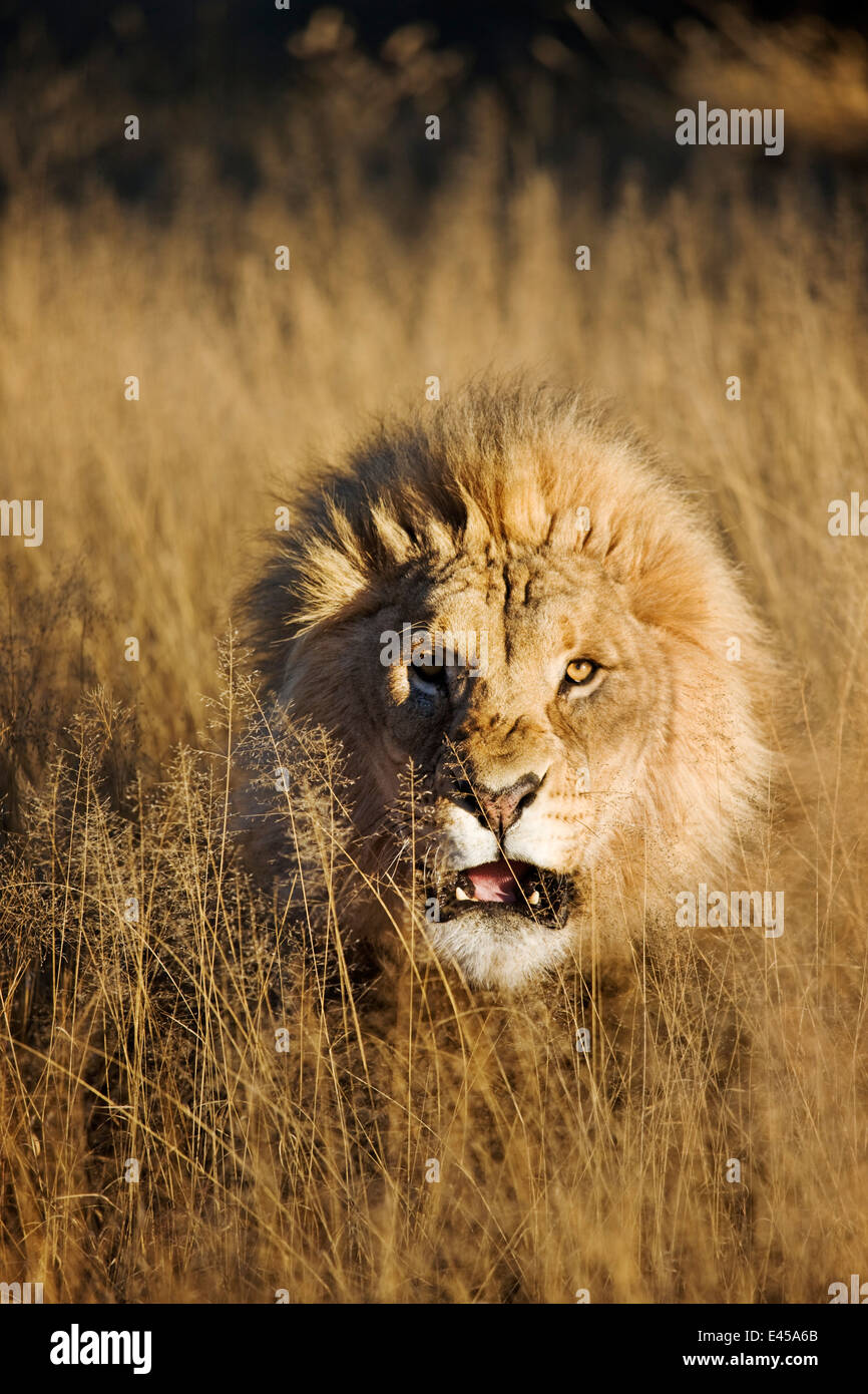 Snarling Male lion (Panthera leo) Photo Stock