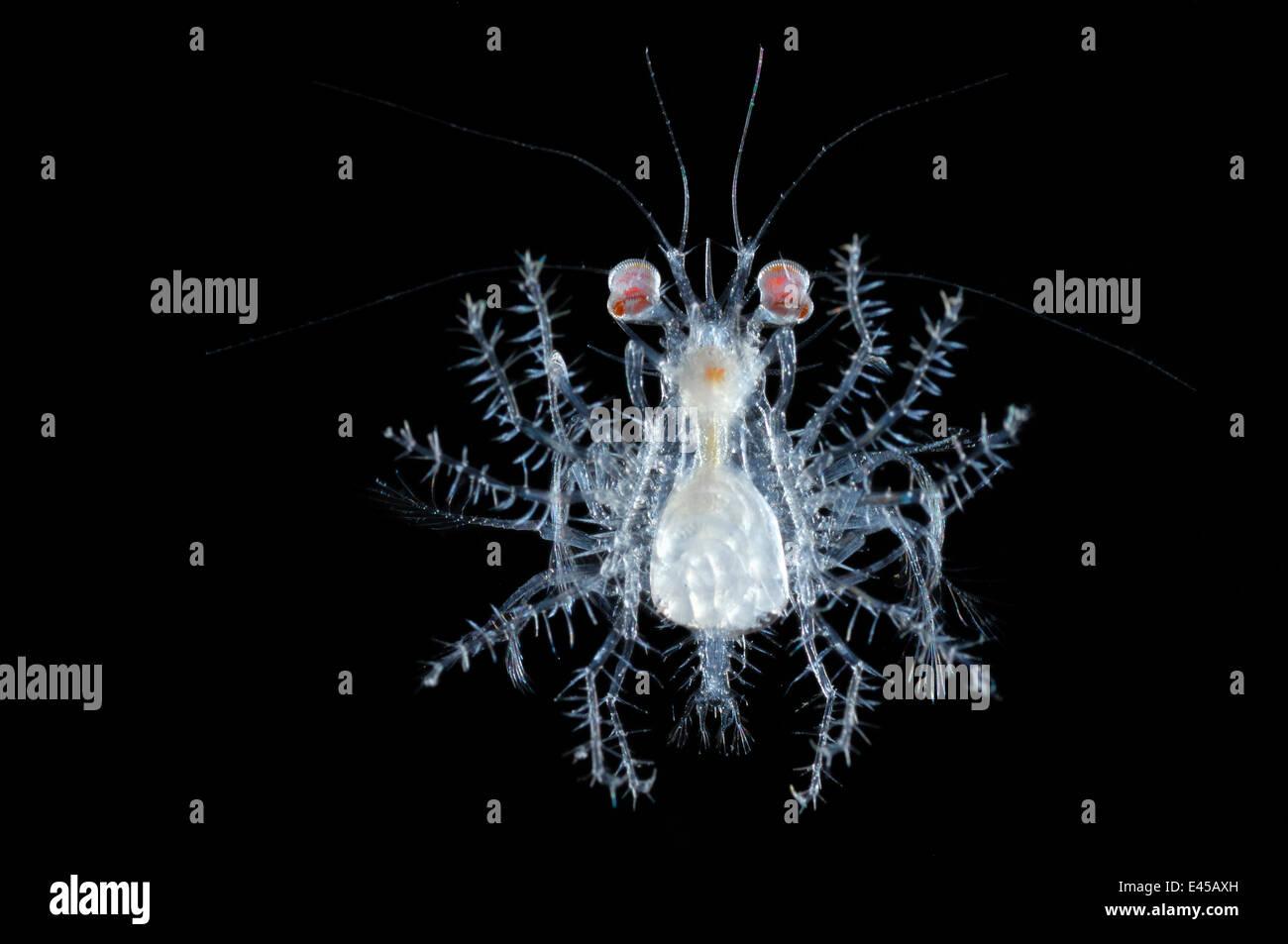 Stade mégalope planctoniques de grands fonds de développement du crabe, de l'océan Atlantique. Banque D'Images