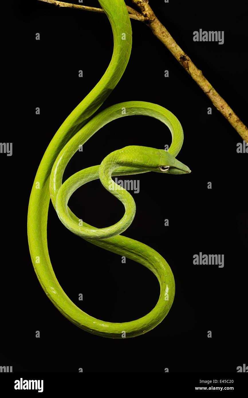 Long Nez / Whip Oriental Snake [Ahaetulla prasina] Parc national de Bako, Sarawak, Bornéo, Septembre Banque D'Images