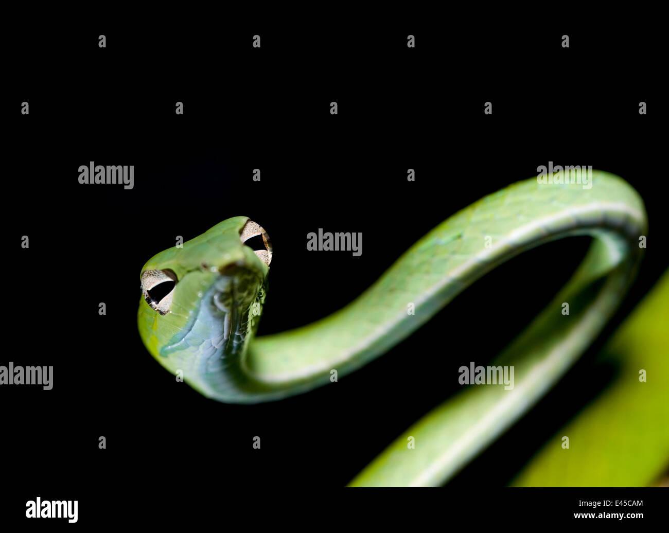 Whip oriental / vigne / long nez serpent (Ahaetulla prasina) Bako NP, Sarawak, Bornéo, Malaisie Banque D'Images