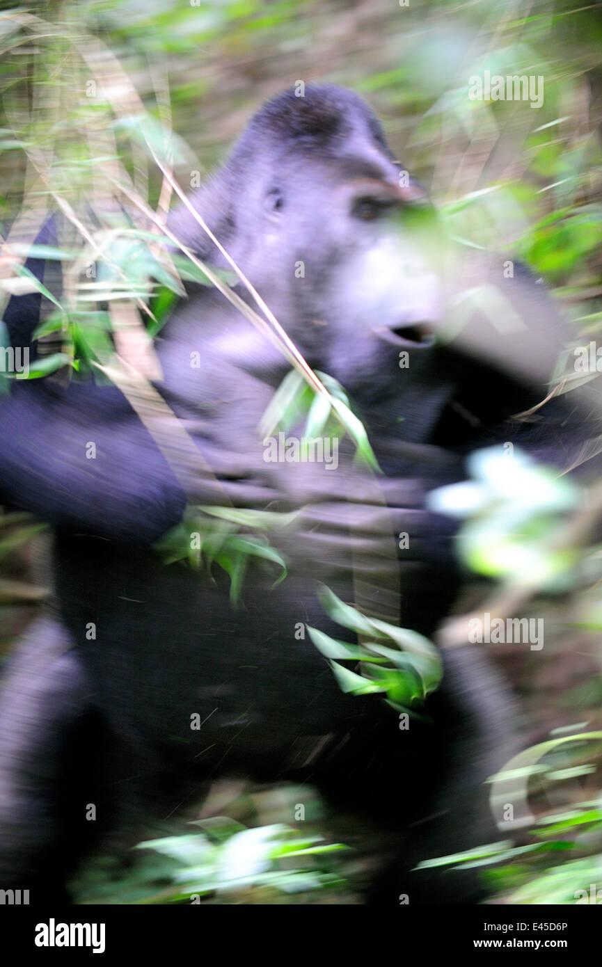 Gorille de plaine de l'ouest Parc national impénétrable de Bwindi, autres,  divers, mammifère png   PNGEgg