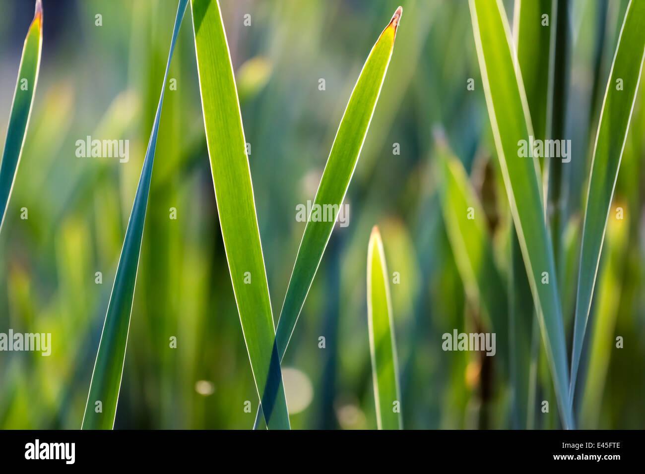 plante aquatique faible profondeur