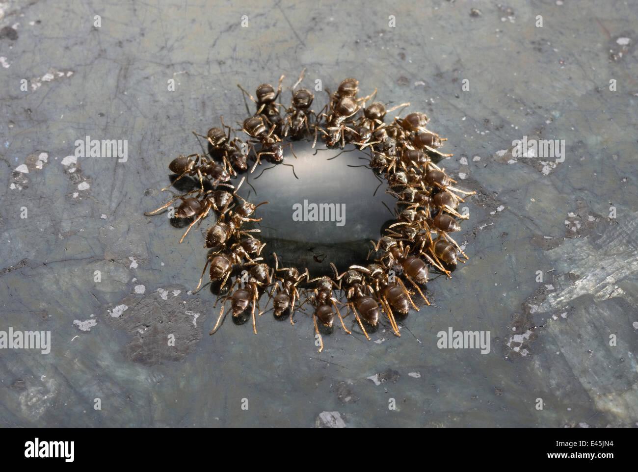 Fourmis noires jardin} {Lasius niger se nourrissant de goutte d'érable sur une surface de travail en granit, Photo Stock