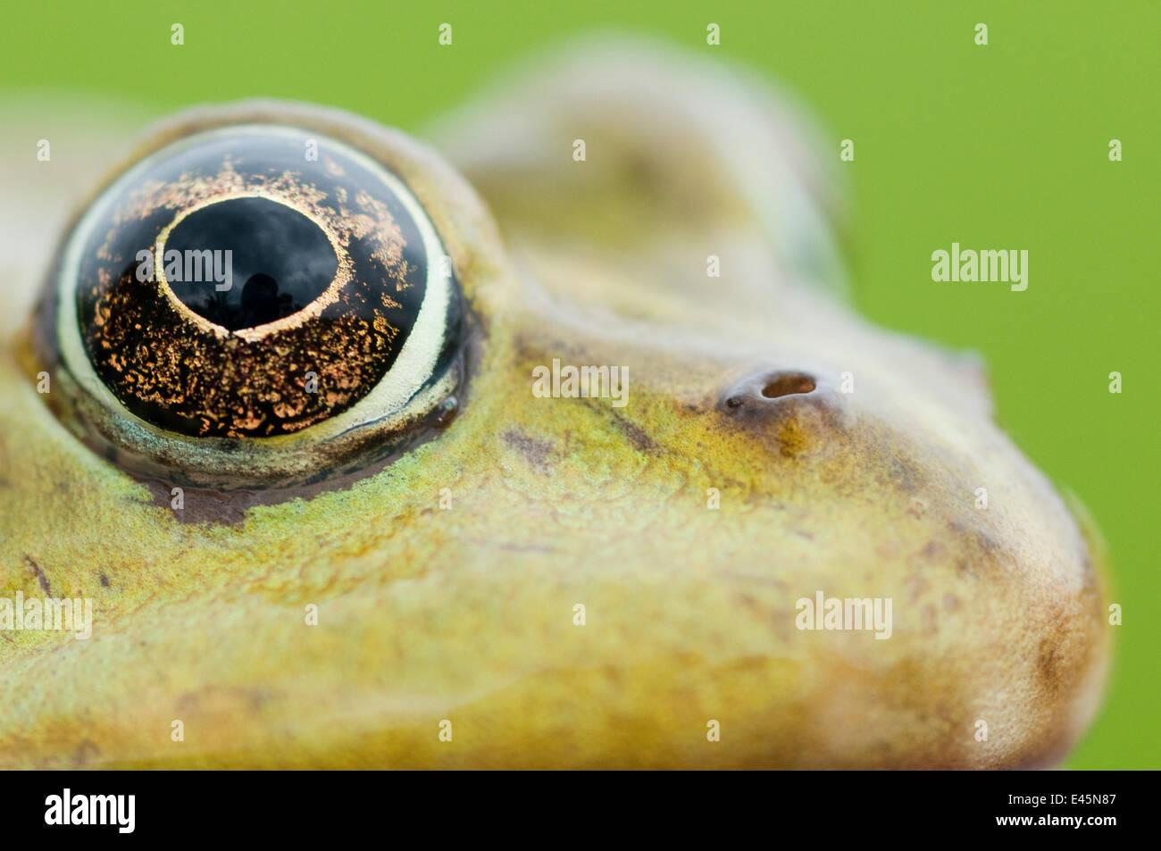 Comestibles européenne grenouille (Rana esculenta) gros plan de la tête montrant l'œil, Prypiat, Bélarus, Photo Stock