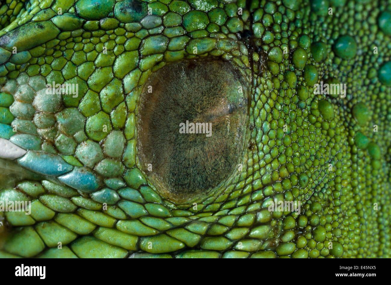 Close up of ear d'iguane vert (Iguana iguana) montrant la membrane tympanique Banque D'Images
