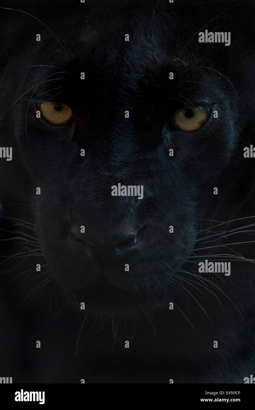 Close up tête portrait de melanistic / black Leopard (Panthera pardus) Banque D'Images