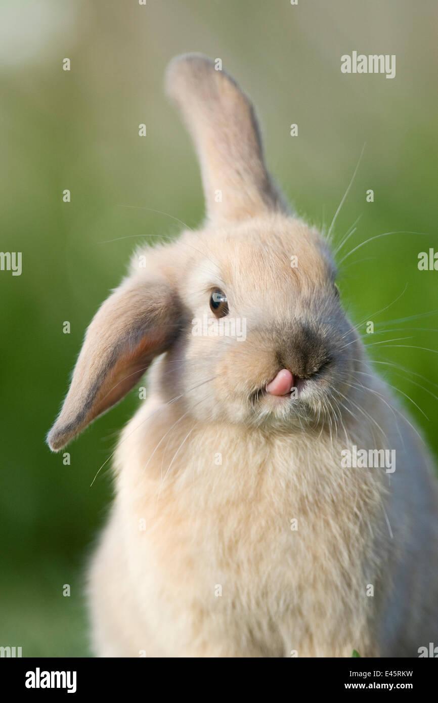 Mini lop-eared lapin domestique avec une oreille et une oreille vers le bas, et de la langue qui sort, Captive, Photo Stock