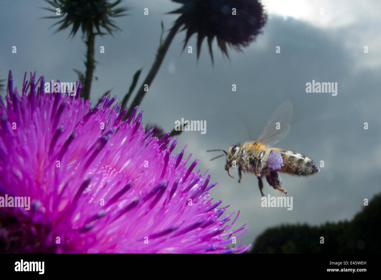 Abeille à miel (Apis mellifera) planant au-dessus d'une fleur pourpre. Paris, France Photo Stock
