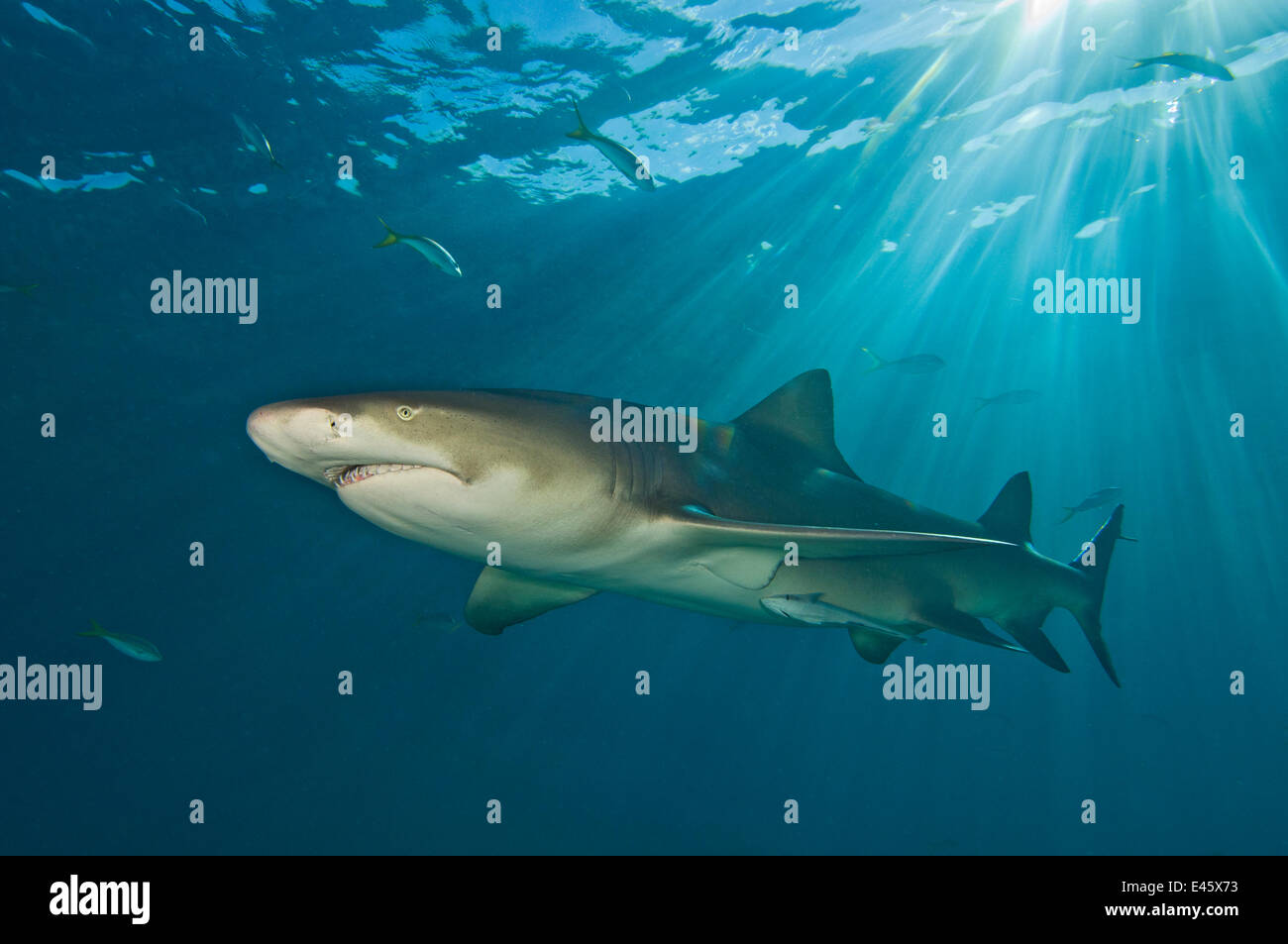 Le requin citron (Negaprion brevirostris) sous les rayons du soleil. Petit banc des Bahamas, Bahamas. Ouest de l'océan Photo Stock