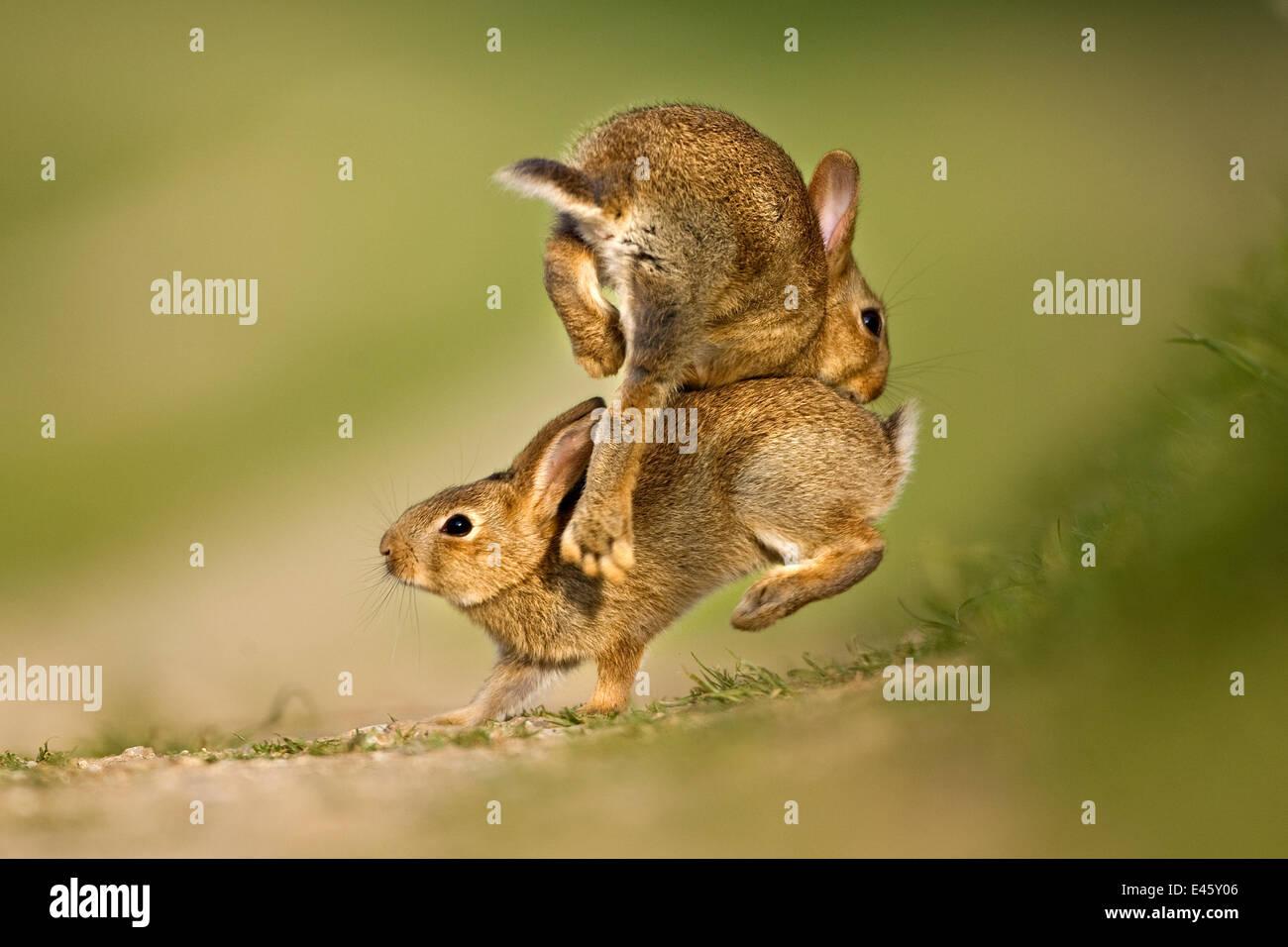 Deux Lapin Européen (Oryctolagus cuniculus) jeunes de jouer et de saut. Royaume-uni, août. Photo Stock