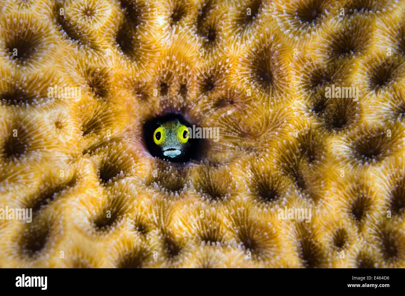 (Blennies Secrétaire Acanthemblemaria maria) pairs hors de son trou dans une starlette massive coral (Siderastrea Photo Stock