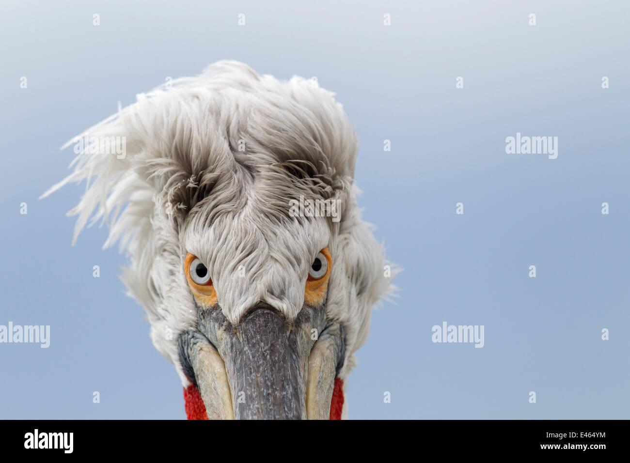 Pélican frisé (Pelecanus crispus) résumé tête portrait, le lac Kerkini, Grèce, Mars Photo Stock