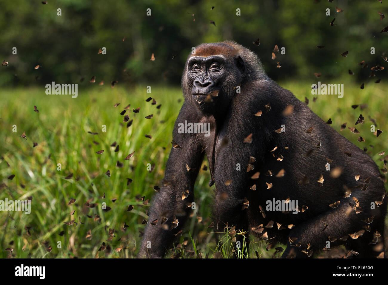 Gorille de plaine de l'ouest (Gorilla gorilla gorilla) femmes 'Malui' marcher à travers un nuage Photo Stock