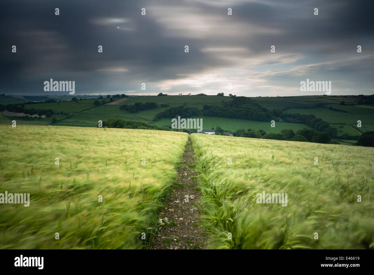 Piste / Sentier à travers un champ d'orge sous ciel d'orage, près de Plush, Dorset, UK Juin 2012 Photo Stock