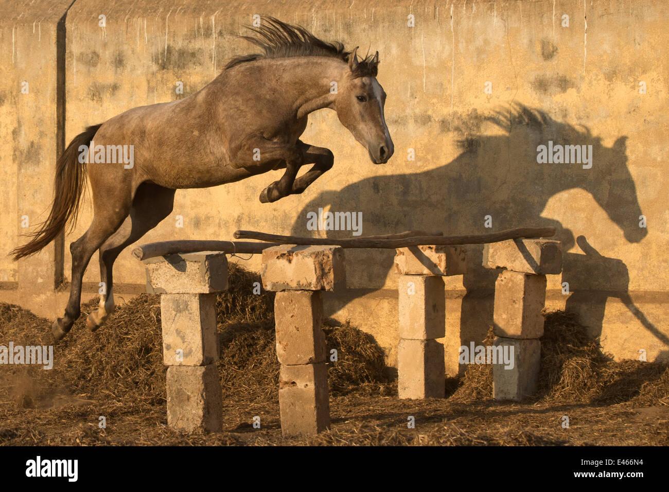 Un deux-ans Kathiawari pouliche cheval saut en liberté,Porbandar, Gujarat, Inde. Out de la séquence 2 Photo Stock