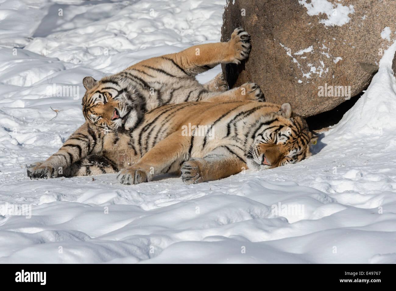 Tigre de Sibérie trouve un moyen pour garder au chaud dans le temps de gel, Hengdaohezi Centre d'élevage, Photo Stock