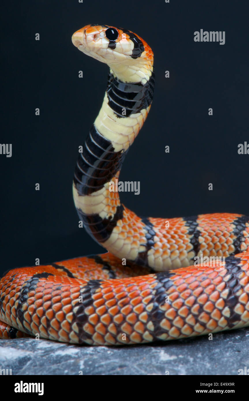 Cape Coral Snake / Aspidelaps lubricus Photo Stock