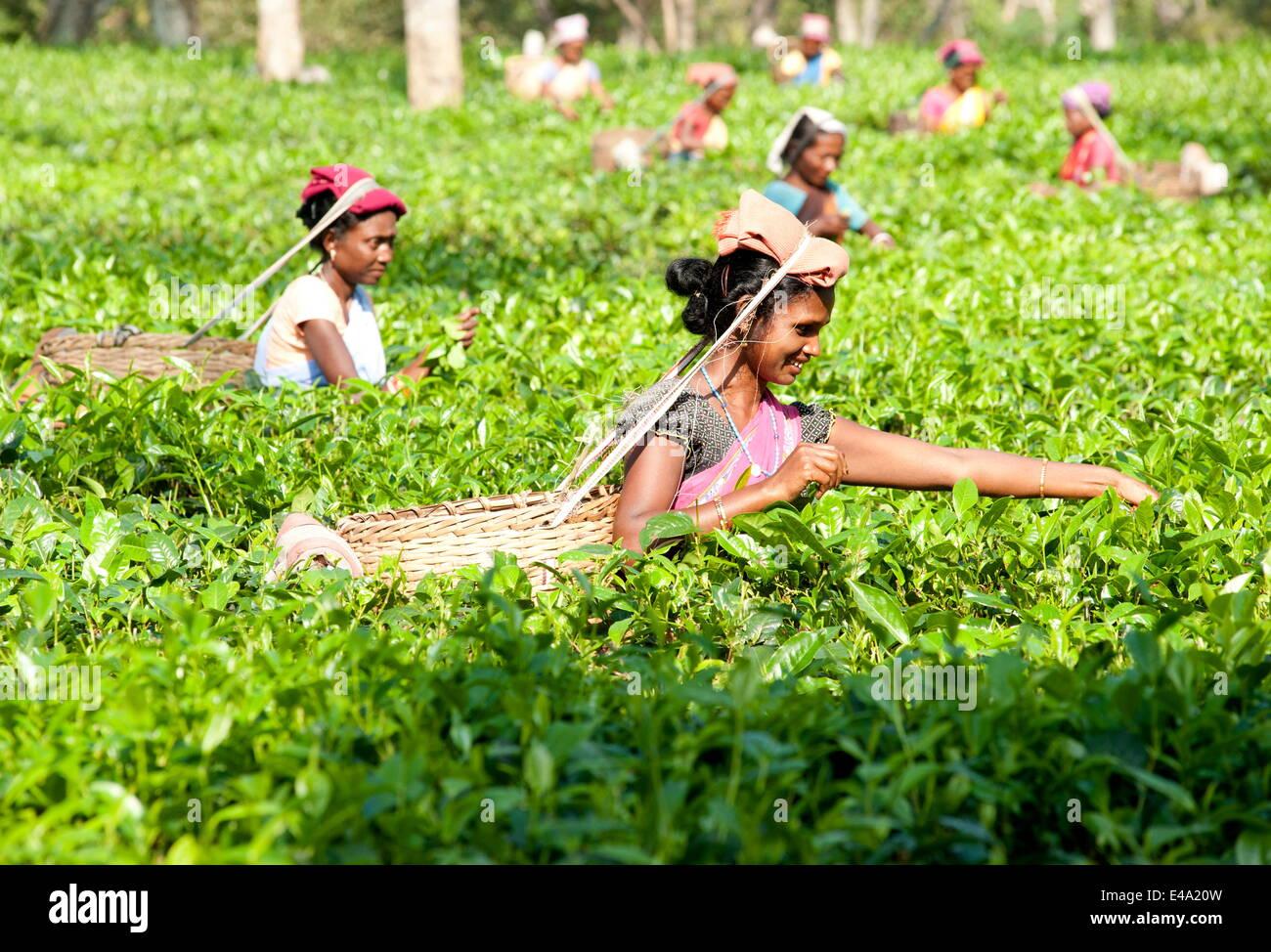 Les cueilleurs de thé sourire travaillant dans la plantation de thé, Balipara district, Assam, Inde, Asie Photo Stock