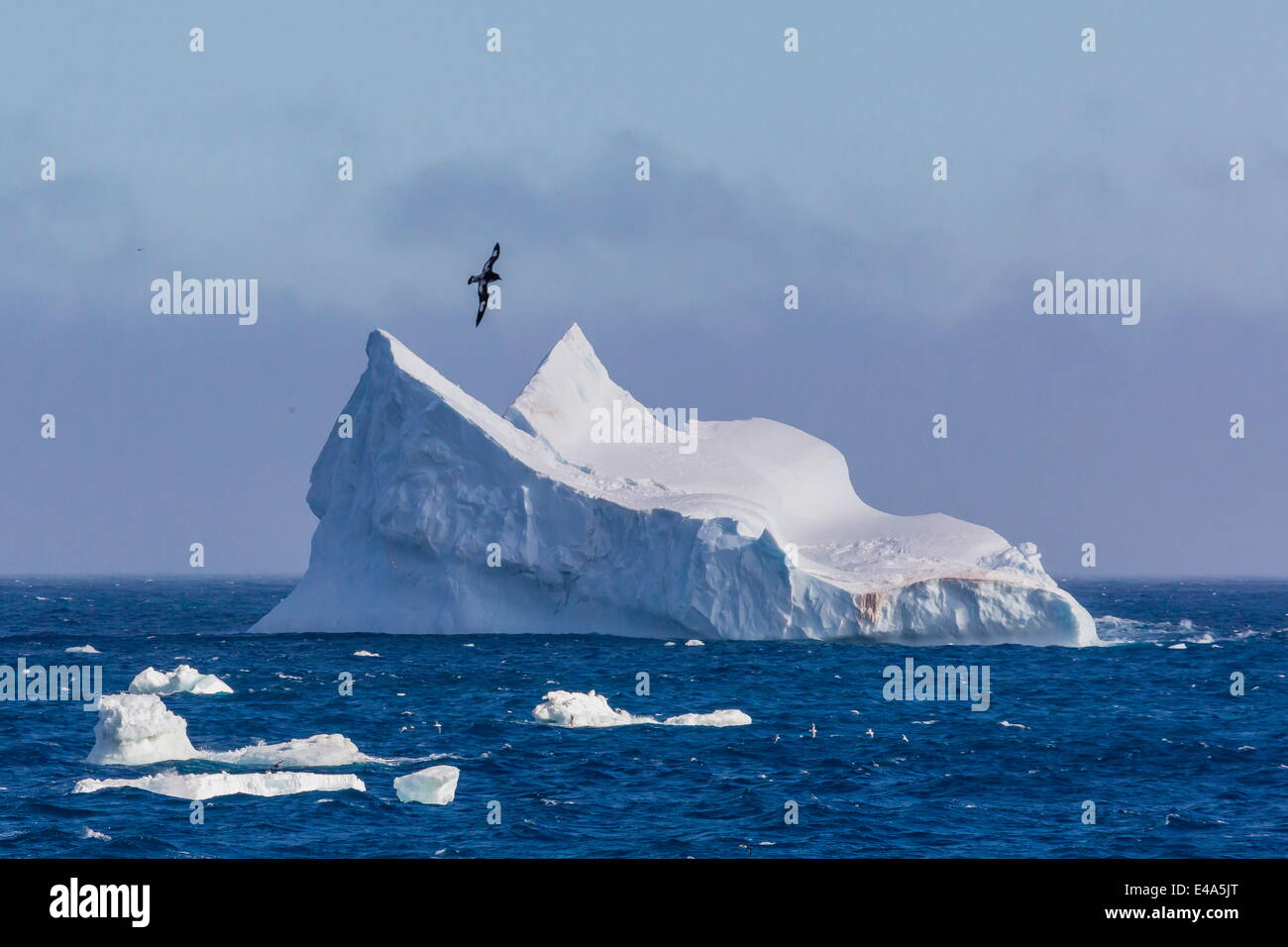 Cape petrel survolant iceberg près de l'île Coronation, îles Orcades du Sud, l'Antarctique, Photo Stock