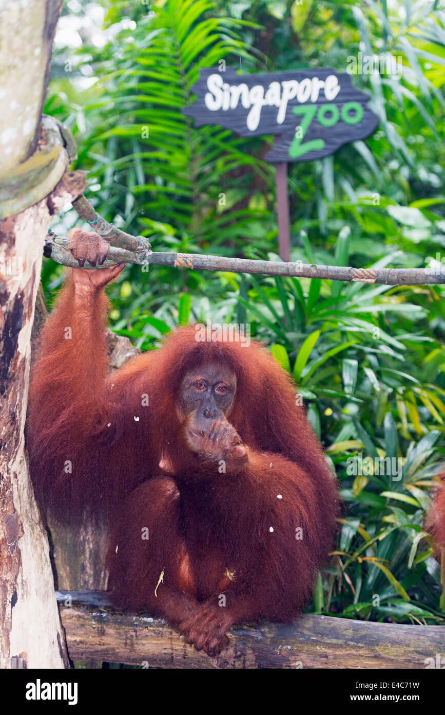 L'Asie du Sud Est, Singapour, Singapour, zoo bornéo orang-outan (Pongo) Photo Stock