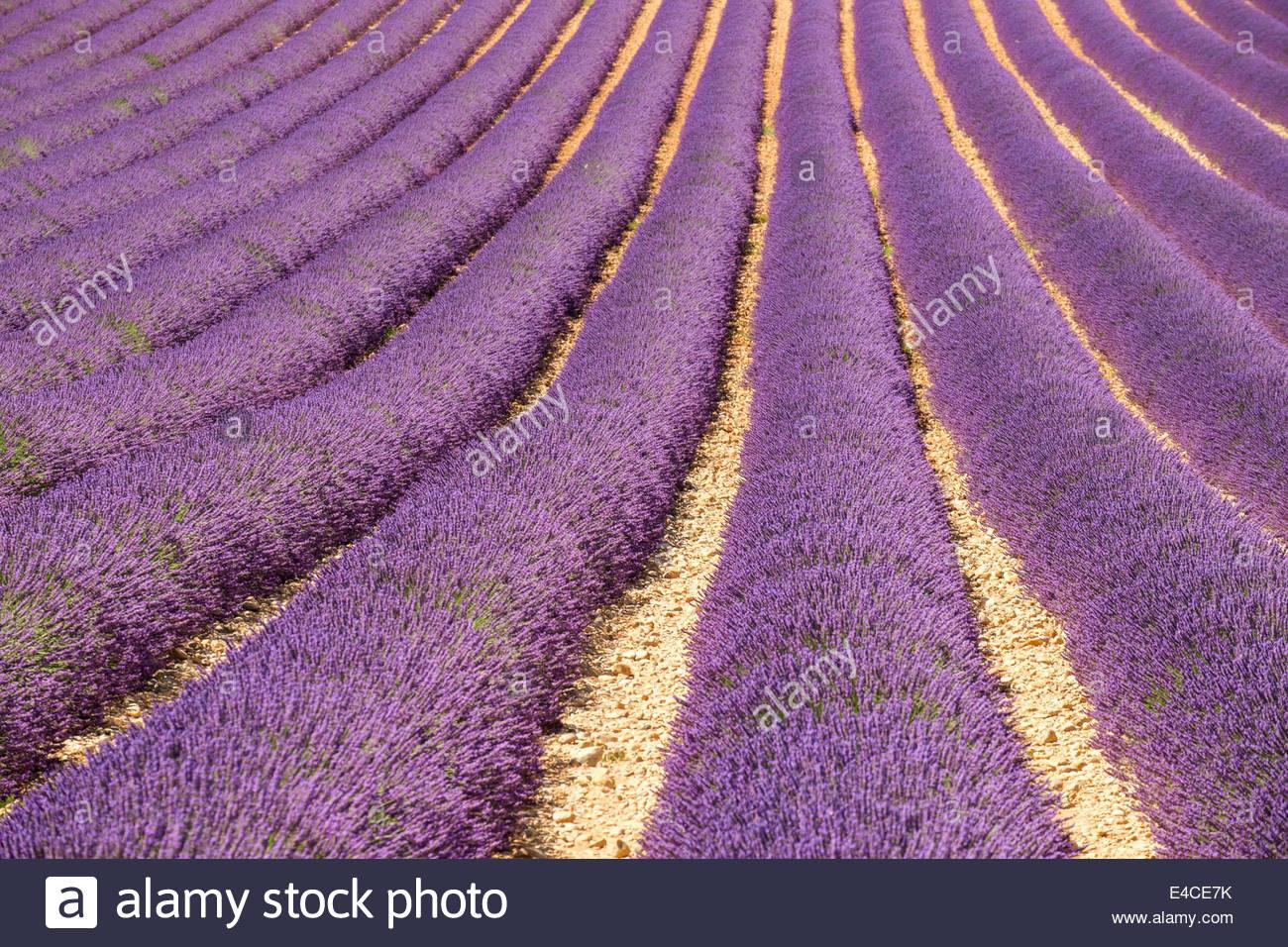 Vaucluse, France, le 8 juillet 2014. Champs de lavande en Provence sont de hauteur de fleurissent au début de juillet, alors que la récolte commence sur le Plateau du Vaucluse, Provence-Alpes-Côte d'Azur, France. Crédit: Jason Langley/Alamy Live News Banque D'Images