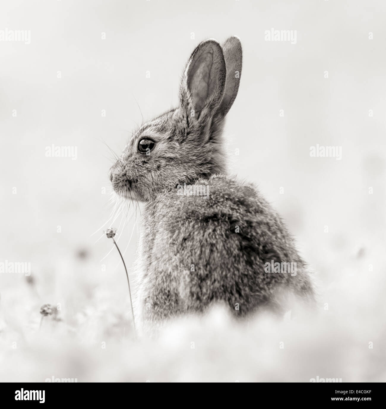 Lapin en monochrome Photo Stock