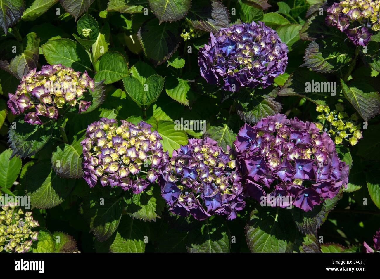 Cornwall. La péninsule de Roseland. St Mawes . Hortensias violets. Photo Stock