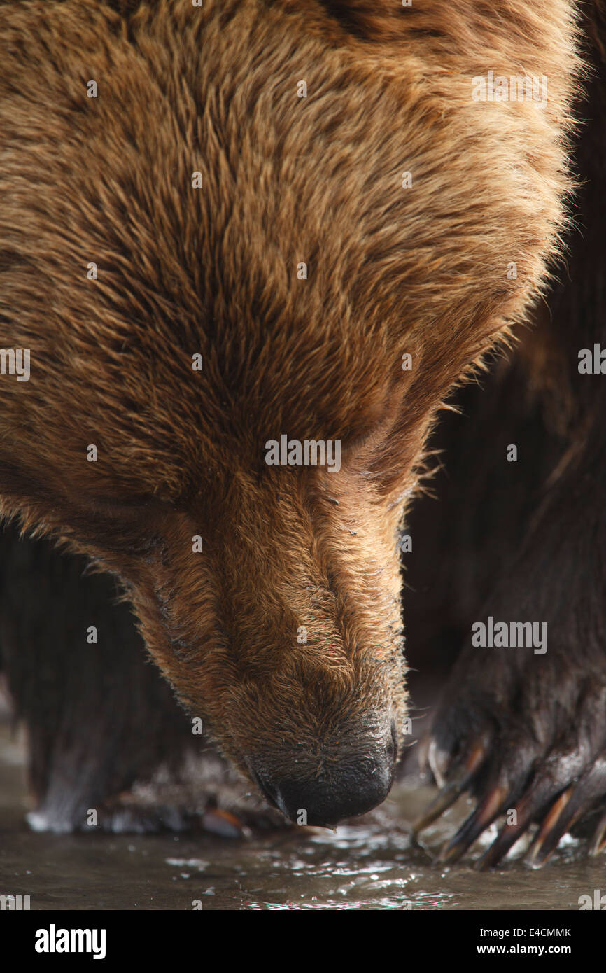 Brown / Grizzli, Lake Clark National Park, Alaska. Banque D'Images
