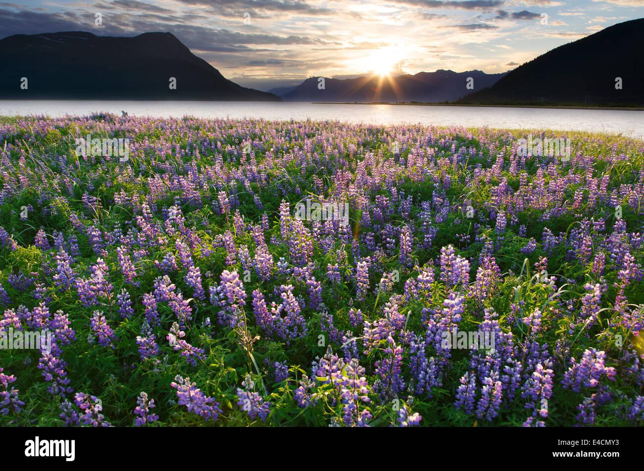 Domaine de fleurs sauvages le long de Lupin, Turnagain Arm, la Forêt Nationale de Chugach Alaska. Photo Stock