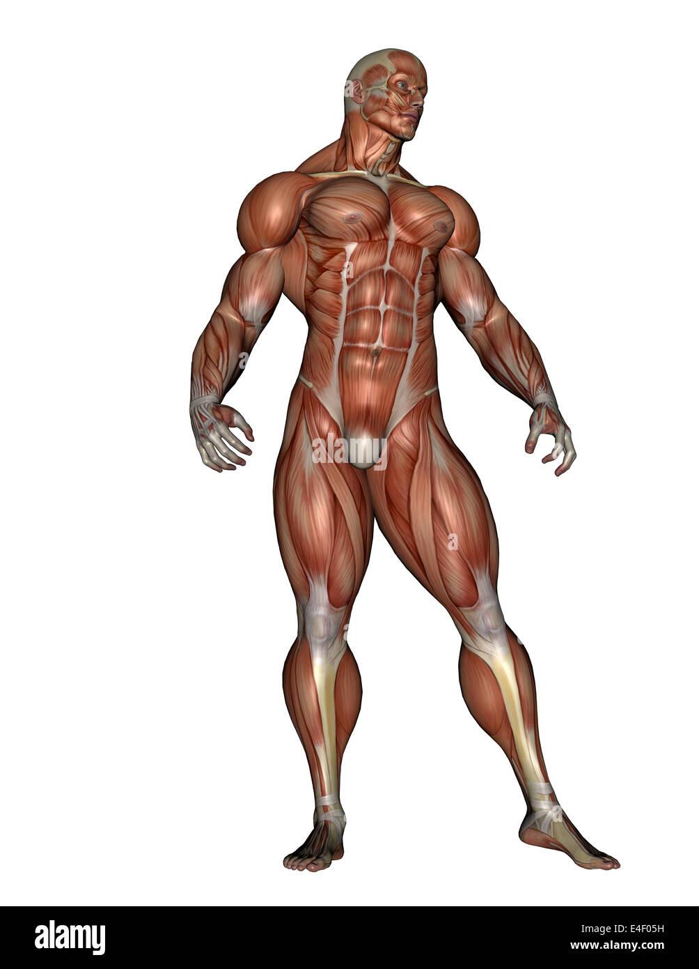 Homme debout musculaire, isolé sur fond blanc. Photo Stock