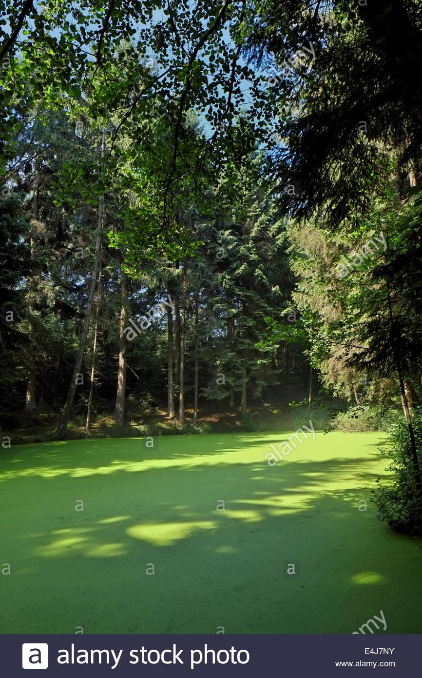 La croissance des algues couvre un étang dans le nord de l'Allemagne, entouré par une forêt de conifères et feuillus. Banque D'Images
