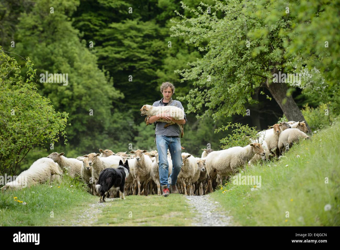Berger avec un troupeau de moutons qui le suivent, portant un agneau blessé. Photo Stock